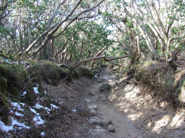 天城山(万二郎岳~万三郎岳周回)登山口コースガイド アセビのトンネル【登山口ナビ】