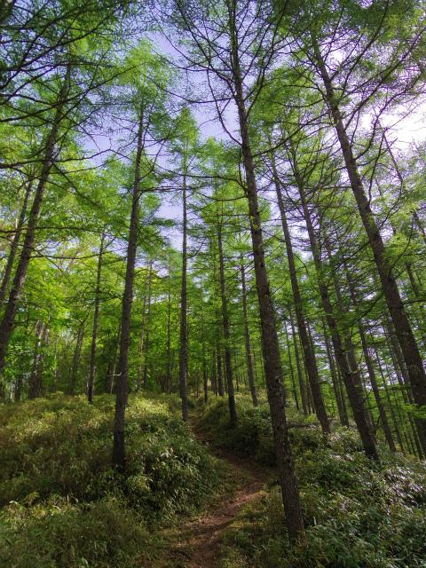 和名倉山(三ノ瀬~東仙波)登山口コースガイド 七ツ石尾根コース カラマツ林【登山口ナビ】