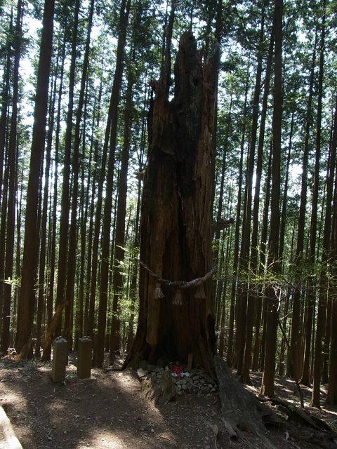 武甲山(表参道コース) 登山口コースガイド 三十一丁目の御神木【登山口ナビ】