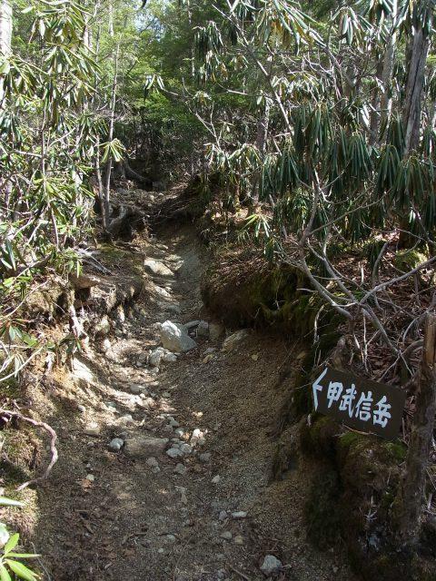 甲武信ヶ岳(徳ちゃん新道コース)登山口コースガイド 戸渡尾根シャクナゲのトンネル【登山口ナビ】