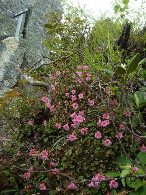 甲斐駒ヶ岳(黒戸尾根)登山口コースガイド 岩稜帯の高山植物【登山口ナビ】
