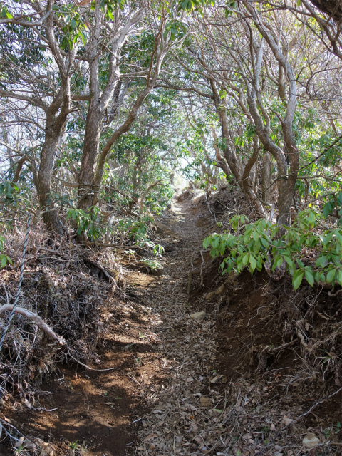 塔ノ岳(書策新道) 登山口コースガイド 灌木のトンネル【登山口ナビ】