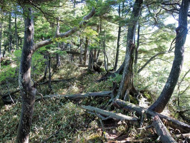 袈裟丸山(郡界尾根~後袈裟~奥袈裟)登山口コースガイド 倒木【登山口ナビ】