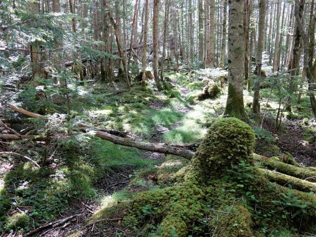 国師ヶ岳(天狗尾根) 登山口コースガイド 苔の樹林【登山口ナビ】