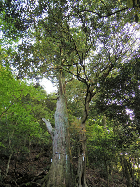 大山(表参道~見晴台周回)登山口コースガイド 絆の木【登山口ナビ】