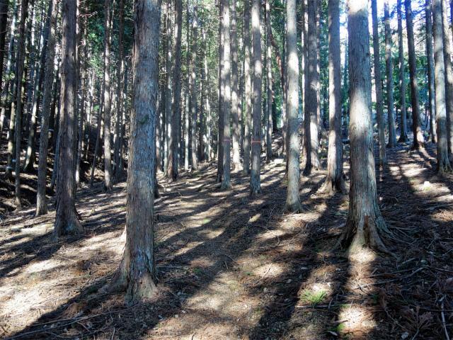 笹子雁ヶ腹摺山(吉田口~笹子峠周回)登山口コースガイド 植林帯【登山口ナビ】