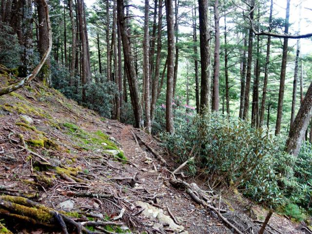 十文字峠・十文字山(毛木平コース)シャクナゲの斜面【登山口ナビ】
