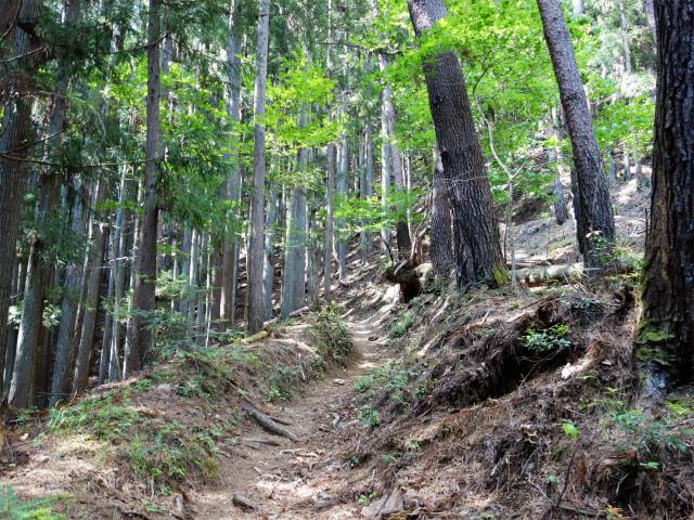 飛龍山(サオラ峠~ミサカ尾根)登山口コースガイド 植林帯【登山口ナビ】