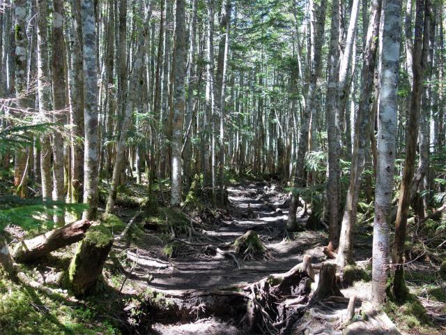 八ヶ岳・中山/ニュウ(麦草峠~白駒池周回)登山口コースガイド 樹林帯のなだらなかな登山道【登山口ナビ】