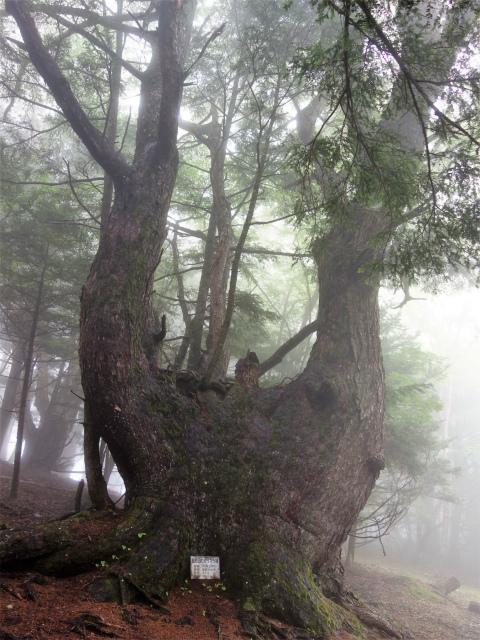 櫛形山(池の茶屋林道口~アヤメ平周回)登山口コースガイド 樹齢300年のカラマツ【登山口ナビ】
