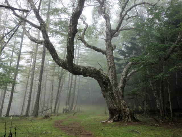 櫛形山(池の茶屋林道口~アヤメ平周回)登山口コースガイド 巨木【登山口ナビ】